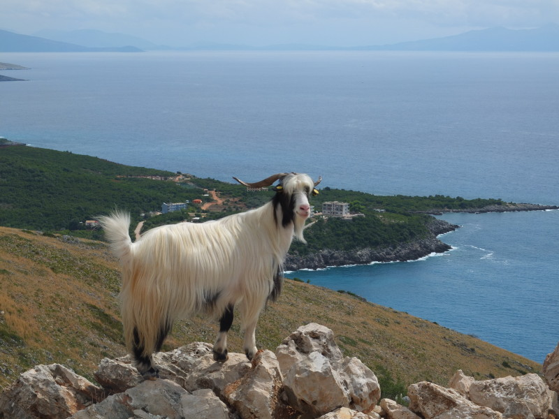 It was very difficult to capture the moment when this beautiful billy goat stayed on the rock. But then it struck the perfect